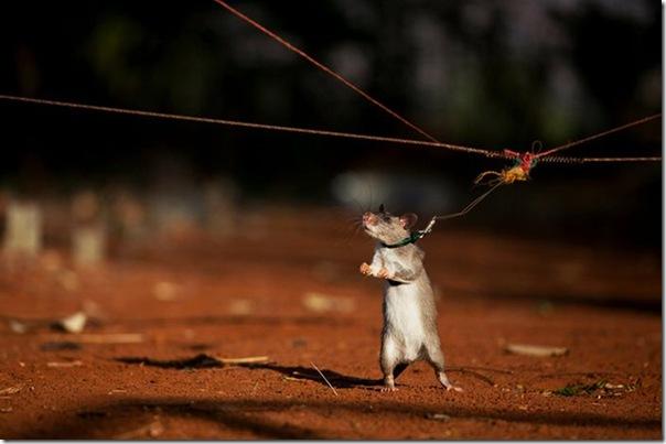 Ratos são treinados para detectar minas terrestres (11)