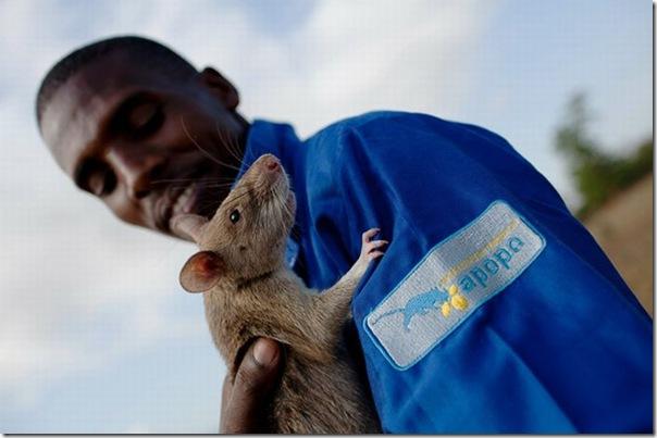 Ratos são treinados para detectar minas terrestres (6)