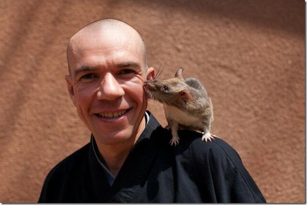 Ratos são treinados para detectar minas terrestres (5)