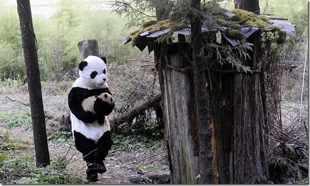 Preparando ursos bandas para a vida selvagem (1)