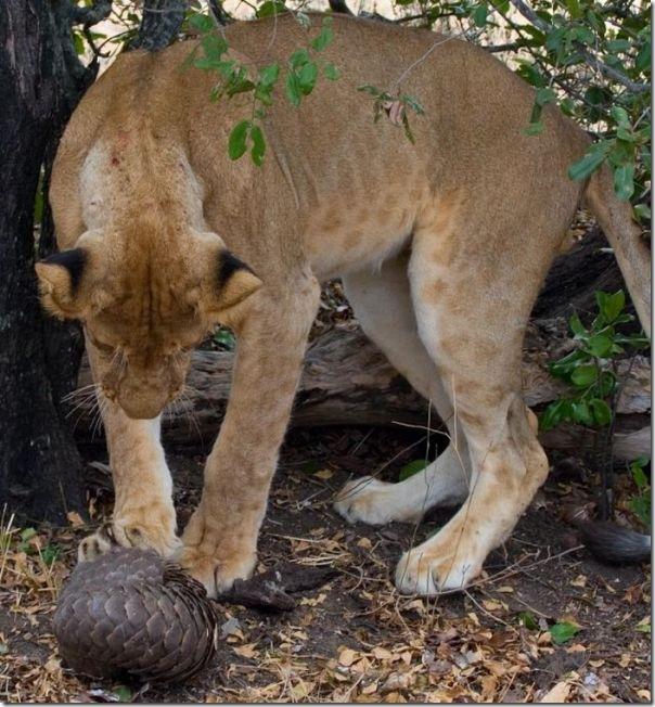 Leão tenta comer um Pangolin mas (2)