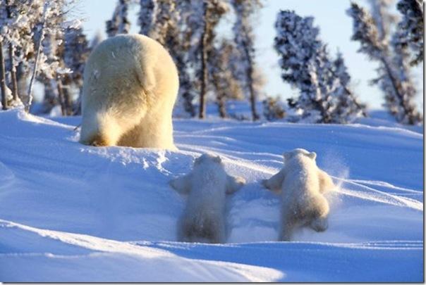 Ursa polar e seus filhotes (1)