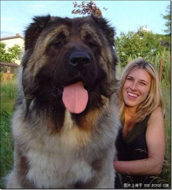 Cães gigantes (13)