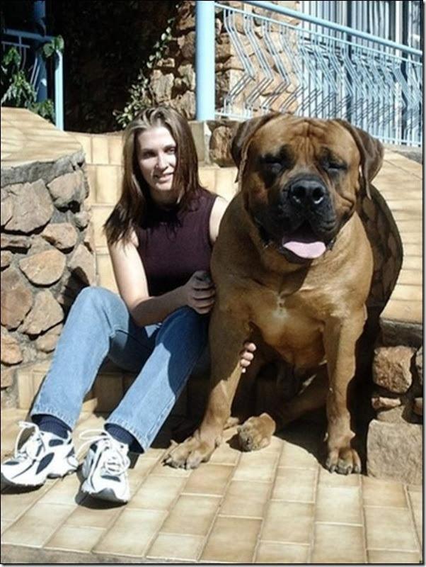Cães gigantes (10)