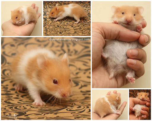 Baby hamster pictures