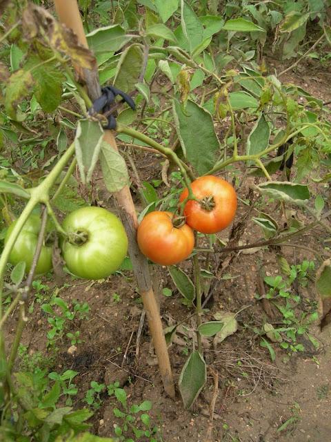 un jardin potager en languedoc arrachage et conservation des tomates vertes. Black Bedroom Furniture Sets. Home Design Ideas