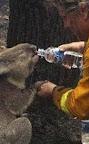 Rescued Koala Bears