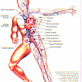 Sistema_Circulatorio.JPG
