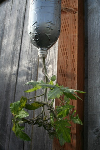 2-liter bottle turned upside-down tomato planter, from cheapvegetablegardener.com