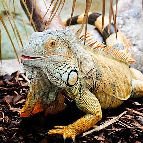 Iguana by Andrew Robinson - Animals Reptiles ( lizard, iguana, reptile )