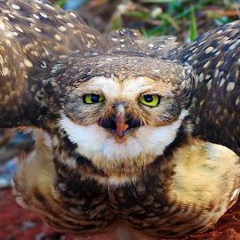 The attack of the Owl by Rubens Campos - Animals Birds ( bird, cerrado, coruja, pássaro, owl, brasília, ave, brasil )