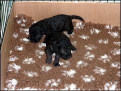 pups 3wks old 011