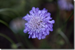 Scabious Butterfly Blue from garden