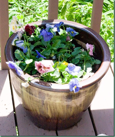 springflowerspansies