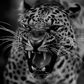 Screaming Out by Roy Ardy - Black & White Animals ( tigers & big cats, animals, lions,  )