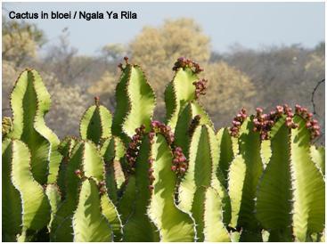 Ngala Ya Rila cactus in bloei 2 txt.jpg