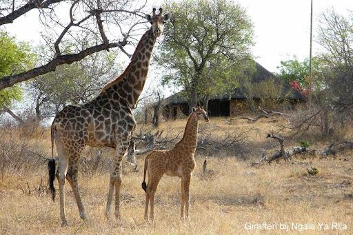 Baby Giraf Ngala Ya Rila.jpg