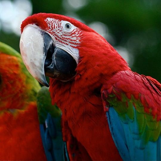 Green Wing Macaw Parrot