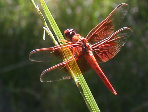 DSCN5376 red dragonfly sycamore canyon en az.jpg