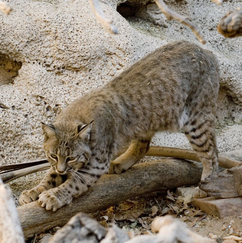 DSC_0002 bobcat az sonoran desert museum tucson en az.jpg