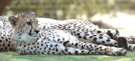 DSC_8089--Cheetah head shot en ca.jpg