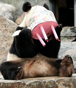 Панда Фуни наслаждается своим тортом в честь дня рождения в зоопарке Аделаиде. (GETTY IMAGES)