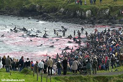 被丹麥人圍觀的血紅祭典