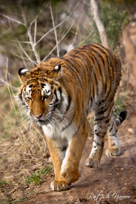 Utah Hogle zoo Siberian tiger