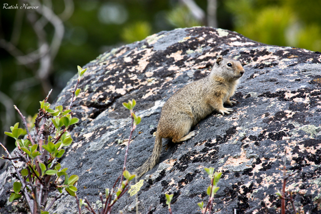Squirrel-at-yellowstone-national-park Squirrel