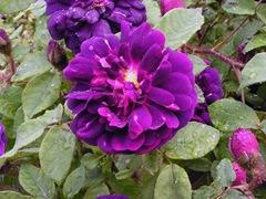 rosa-centifolia-muscosa
