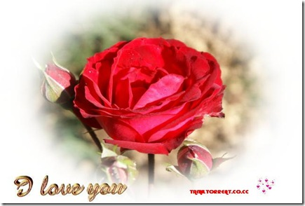 red_rose_I_love_you_wallpaper_ecard-dsc00743