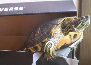 Táta, a tartaruga do Nei Schimada