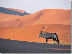 Un antílope oryx solitario.