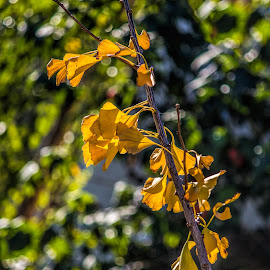 golden leaves by Vibeke Friis - Nature Up Close Leaves & Grasses ( backlit, yellow leaves,  )