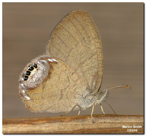 Gemmed Satyr (Cyllopsis gemma)