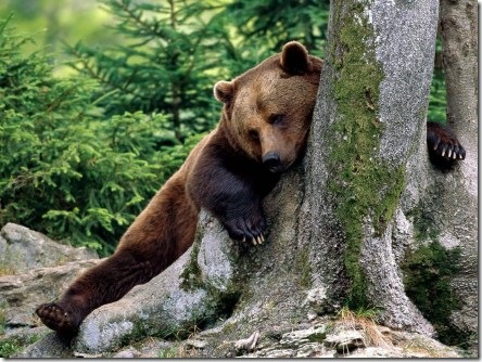 bear at rest