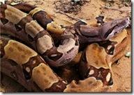Boid family_boa constrictor