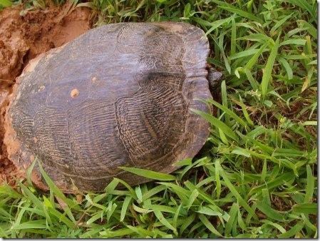 turtle in the backyard