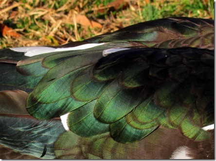 muscovy_wing