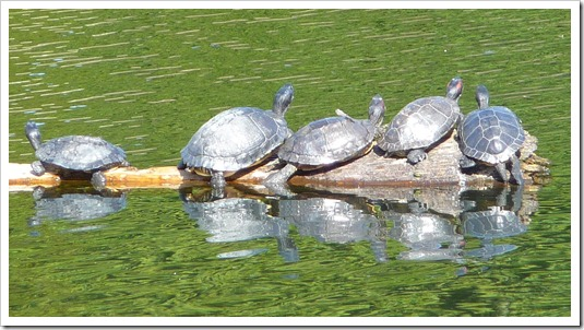 turtles zoomed