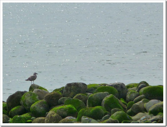 Seagull on mossy rocks