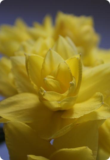 Smukke dobbelte påskeliljer