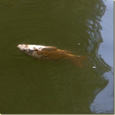 Thousands_of_Dead_Fishers_VaalRiver_SA_20081205