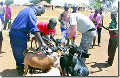 USMilitaryInnoculatingUgandanLivestockMarch25 AFRICOM