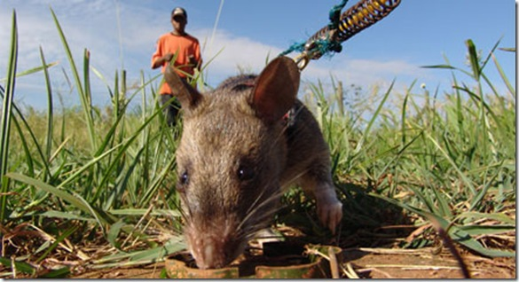 Apopo rats detect TNT so why not Tuberculosis