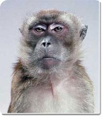 macaco-serio