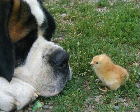 狗和小鸡!