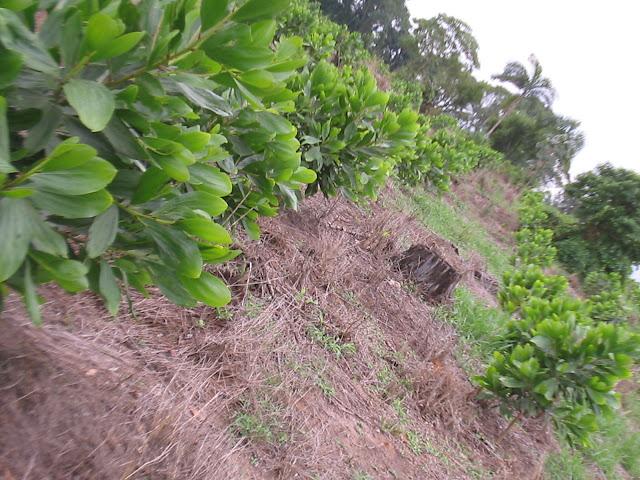 Reflorestamento de Acacia Mangium
