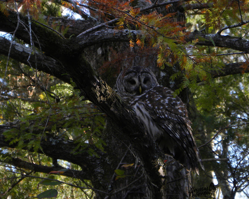 Barred Owl Photo Op