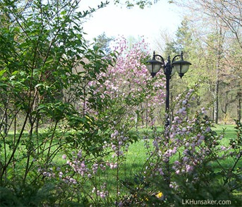 Flowering Almond and Magnolia